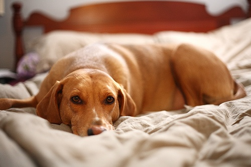 Excellent Dog Sleeping On Bed 500 x 333 · 53 kB · jpeg